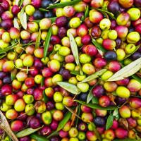 per la raccolta delle olive servono attrezzi e macchinari di qualità